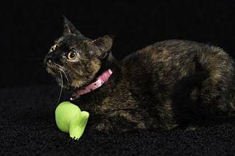 Domestic Shorthair Cat for adoption in Gainesville, Florida - Keri