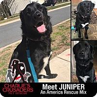 Adopt A Pet :: Juniper - Spring City, PA
