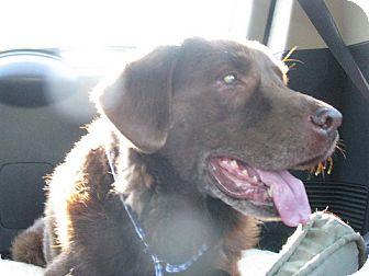 Chesapeake Bay Retriever Mix Dog for adoption in Wilmington, Massachusetts - Apollo