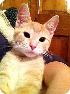 Domestic Shorthair Kitten for adoption in Green Bay, Wisconsin - Diamond