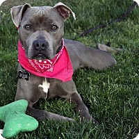 Pit Bull Terrier/American Staffordshire Terrier Mix Dog for adoption in Los Angeles, California - Pretty Boo-VIDEO