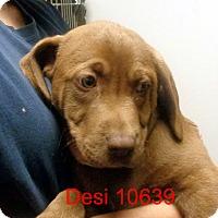 Adopt A Pet :: Desi - Greencastle, NC