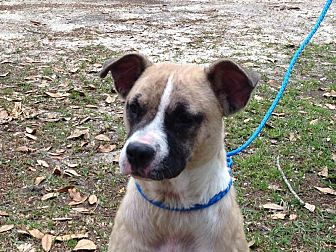 Boxer Mix Dog for adoption in Columbia, South Carolina - Lovey