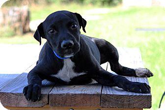 Labrador Retriever Mix Puppy for adoption in Waldorf, Maryland - Todd