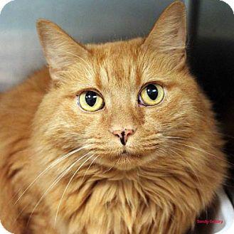 Domestic Mediumhair Cat for adoption in Paris, Maine - Max