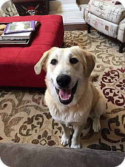 Anatolian Shepherd/Husky Mix Dog for adoption in Plano, Texas - Carly