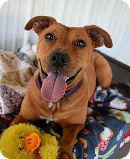 Pit Bull Terrier Mix Dog for adoption in Lisbon, Ohio - Star- URGENT!!