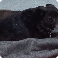 Chihuahua/Schipperke Mix Dog for adoption in Westminster, California - Blakey