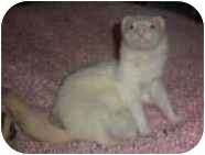 Ferret for adoption in Spokane Valley, Washington - Clyde