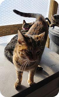 Domestic Shorthair Cat for adoption in Geneseo, Illinois - Rumor