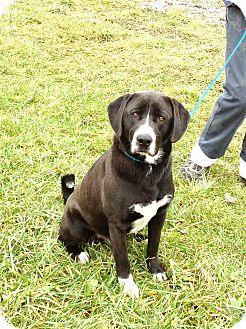 Labrador Retriever Mix Dog for adoption in Zanesville, Ohio - # 499-12 ADOPTED!