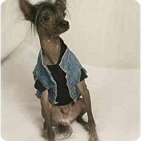 Adopt A Pet :: Rico - Gilbert, AZ