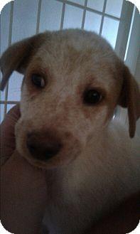 Blue Heeler/Labrador Retriever Mix Puppy for adoption in Mantua, New Jersey - Delilah