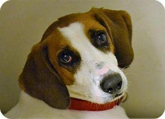 Treeing Walker Coonhound/Hound (Unknown Type) Mix Dog for adoption in Bakersville, North Carolina - Sundance