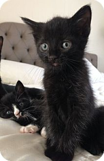 Domestic Shorthair Kitten for adoption in Reston, Virginia - Jeri