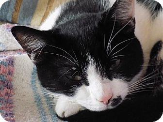 Domestic Shorthair Kitten for adoption in Naperville, Illinois - Candy