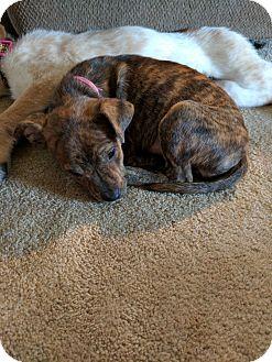 Terrier (Unknown Type, Small) Mix Puppy for adoption in DeForest, Wisconsin - Juliette