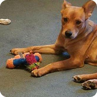 Shepherd (Unknown Type)/Shiba Inu Mix Dog for adoption in Wyoming, Michigan - Picabo Street