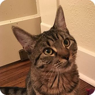 Domestic Shorthair Cat for adoption in Toronto, Ontario - Tabatha