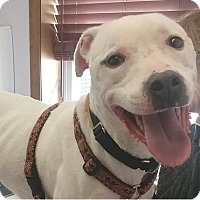Labrador Retriever/American Staffordshire Terrier Mix Dog for adoption in Hackettstown, New Jersey - Donnie