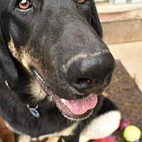 Adopt A Pet :: Chaco - Fayette, MO