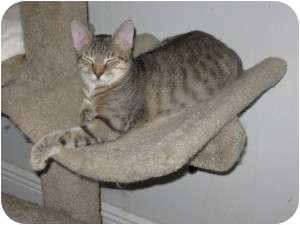 Domestic Shorthair Cat for adoption in Ft. Lauderdale, Florida - Jeff