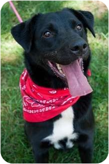 Labrador Retriever/Chow Chow Mix Dog for adoption in Afton, Tennessee - Starbucks