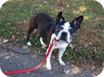 Boston Terrier Dog for adoption in Madison, Wisconsin - Aggie