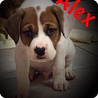 Adopt A Pet :: ALEX - Marlton, NJ