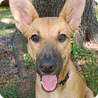 Adopt A Pet :: Bambi - Ormond Beach, FL