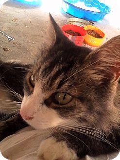 Domestic Longhair Cat for adoption in Medford, New York - Hunter