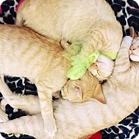 Adopt A Pet :: 3 ORANGE KITTENS! (P.O) - New Smyrna Beach, FL
