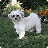 Adopt A Pet :: CAMELLIA - Newport Beach, CA