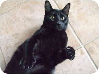 Bombay Cat for adoption in Montreal, Quebec - Shadow