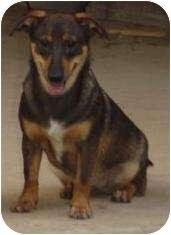 Dachshund Mix Dog for adoption in Houston, Texas - Sandy