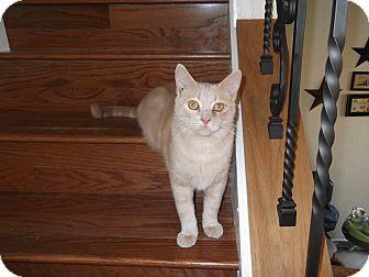 Domestic Shorthair Kitten for adoption in Stafford, Virginia - Sherbet