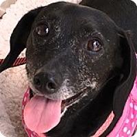 Dachshund Dog for adoption in Houston, Texas - Ericka Esperanza