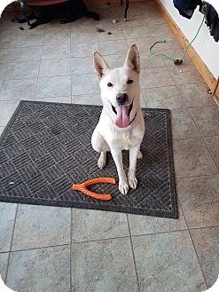 Husky/German Shepherd Dog Mix Dog for adoption in Walthill, Nebraska - Lily