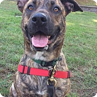German Shepherd Dog/American Staffordshire Terrier Mix Dog for adoption in Castro Valley, California - Prada