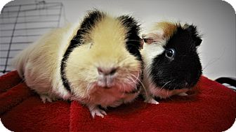 Guinea Pig for adoption in Seattle, Washington - Piglet
