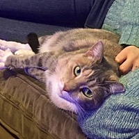 Calico Cat for adoption in Brooklyn, New York - Aoba the Calico Cutie