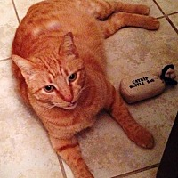 Adopt A Pet :: SAMMIE the KING of CATS - DeLand, FL