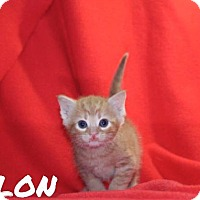 Adopt A Pet :: Talon - Batesville, AR