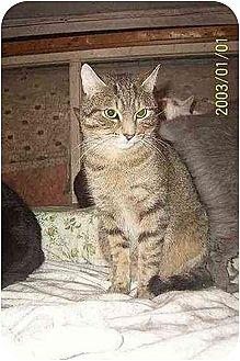 Domestic Shorthair Cat for adoption in Chapman Mills, Ottawa, Ontario - SUNDANCE