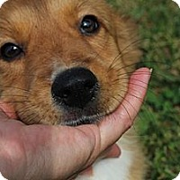 Adopt A Pet :: Olivia -- I am in New Hampshir - Foster, RI
