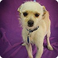 Adopt A Pet :: Chutney - Broomfield, CO