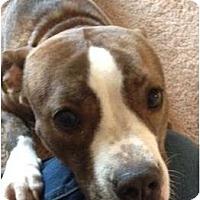 Adopt A Pet :: Roxie - Seattle, WA