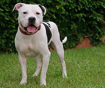 American Bulldog Mix Dog for adoption in Boston, Massachusetts - LT