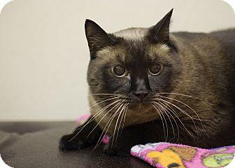 Siamese Cat for adoption in Sterling, Kansas - Juliet