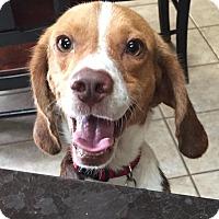 Adopt A Pet :: Eddy - Minneapolis, MN